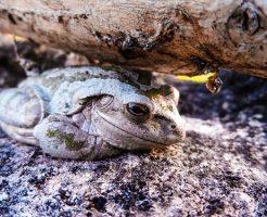 カエル 卵 時期