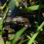田んぼに水を張るとどこからカエルはやってくるのか