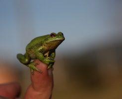 カエル 小さい 黒 緑