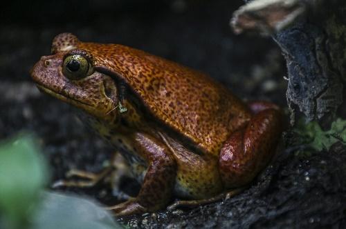北海道 カエル 鳴き声