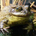 カエルの卵からオタマジャクシは何匹産まれる?
