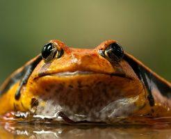 カエル 触る 目