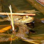 海外ではカエルの鳴き声をどう表現するのか