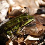 茶色の小さいカエルの正体
