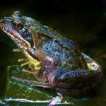 カエル の舌や筋肉の構造について