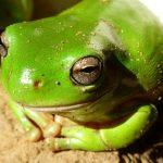 カエルの肝臓の機能と構造を知るとヒトとの違いが見えてくる!