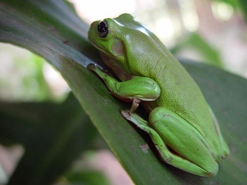 カエル 大きい 茶色 緑 灰色