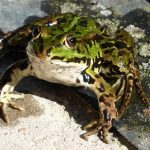カエルの卵と孵化の期間