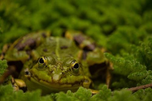 カエル 舌 長さ