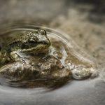 カエルは冬眠時期に凍ることもあるのか