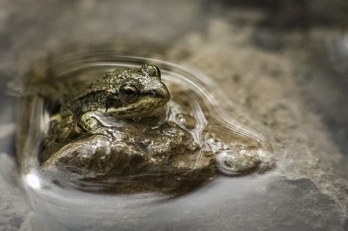 カエル 冬眠 凍る