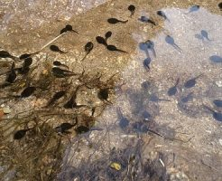 カエル 幼生 餌