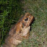 カエルのオスとメスの見分け方