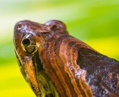 カエル 冬眠 飼育