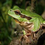田んぼで見られるカエルの種類