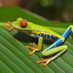 手と目が赤いカエル、アカメアマガエルが可愛すぎる件