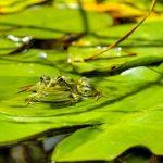 カエルが研究されるのはなぜ?その利点とは?