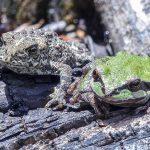 ヒキガエルとカエルを比べる!繁殖の時期や成育期間について!