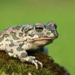 ヒキガエルの生息場所と環境について!