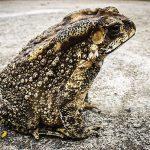 ヒキガエルが持っている毒は、どんな症状が出るの?