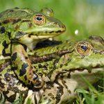 日本人にとって身近な生き物!?カエルの繁殖方法とは?