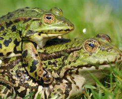 カエル 繁殖 方法