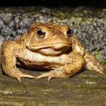 カエルのなかでも大きい種類のカエルは?