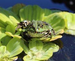 北海道 外来種 カエル