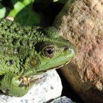 子孫繁栄のシンボル、カエルが産む卵の数