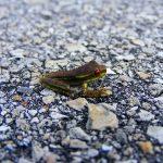 日本で小さい黒いカエルは、1cm以下!?