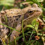 日本に住む、よく見かける主なカエルの種類と特徴