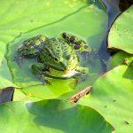 カエルが舌を使って捕食する方法