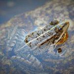金魚とカエルの混泳 について