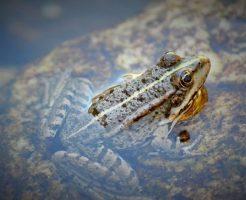 金魚 カエル 混泳