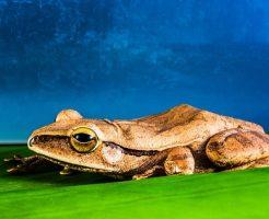 夢占い 赤い カエル