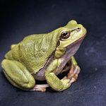 アマガエルのオタマジャクシがいつ緑色に変わるのか?