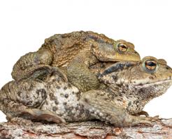 ヒキガエル 繁殖期 変化